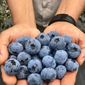 Fall creek ventura berries harvested 100318 in peru c2018 all rights reserved