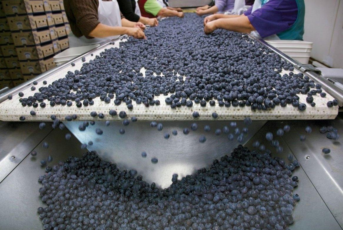 Blueberries on Belt