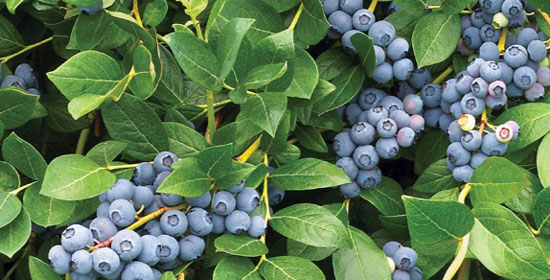Fall Creek Farm Nursery World S Leading Blueberry Stock Company