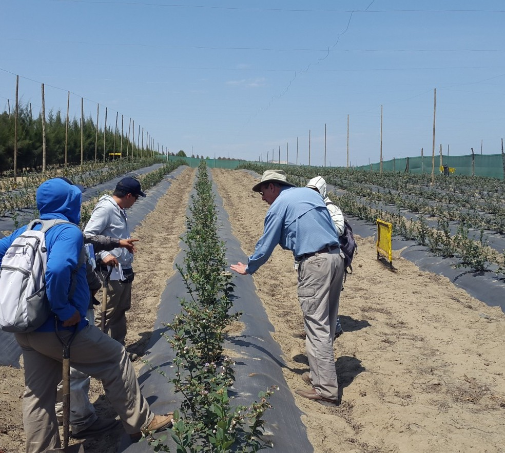 Blueberries_in_Peru_-_Aug_2014.jpg