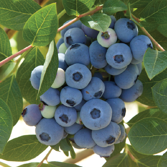 Blueberry_default_image_648sq.jpg
