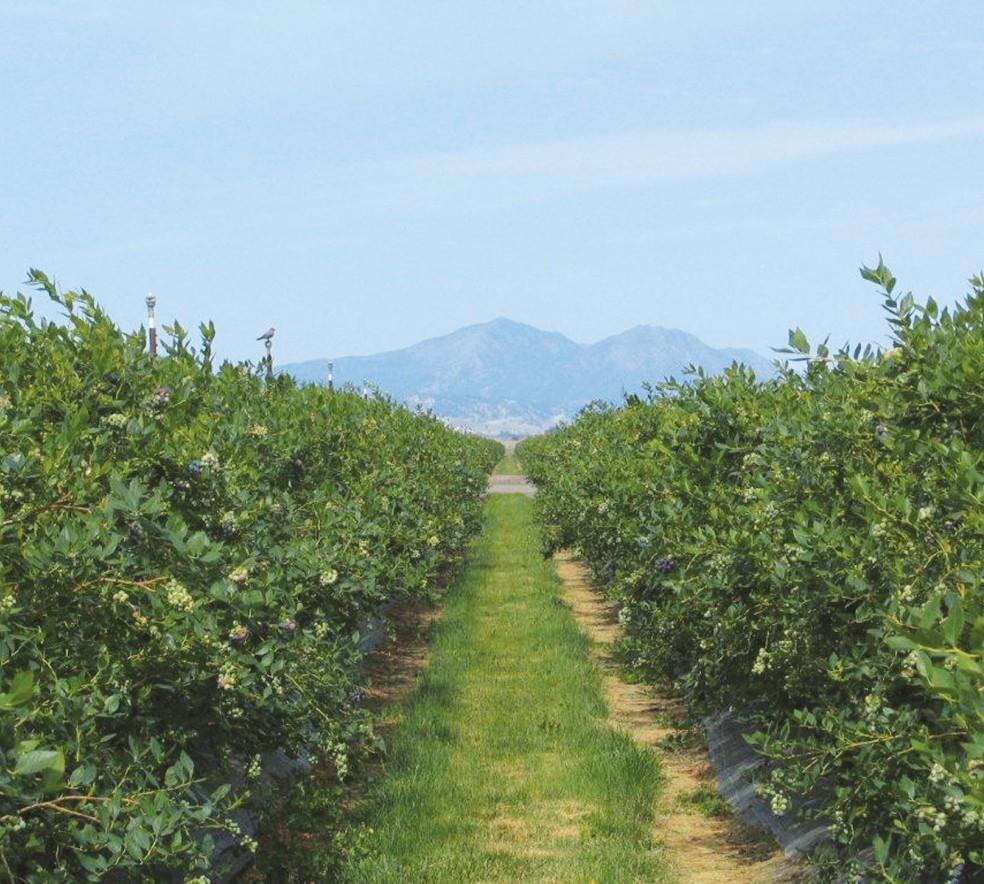 California_blueberry_field_pg19.jpg