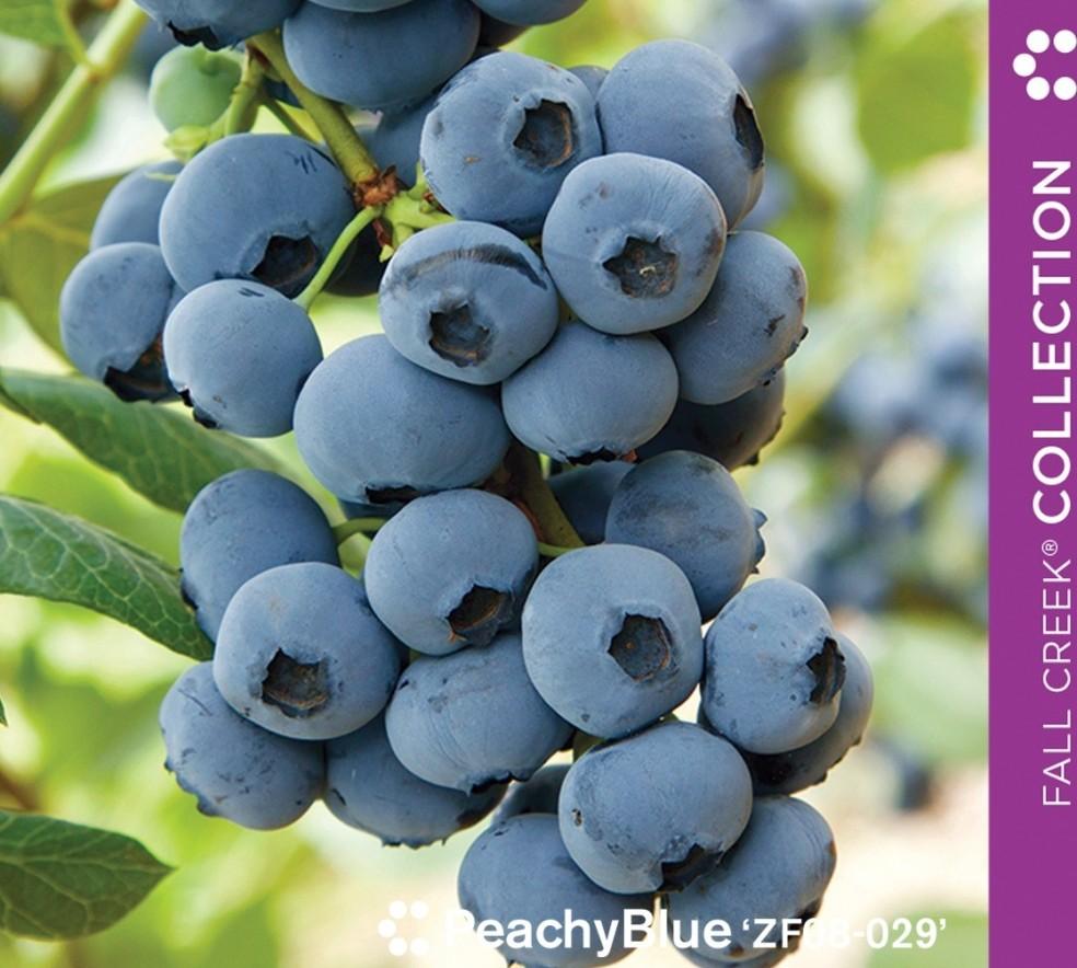 peachybluezf08-029_branded_890x800_4__full.jpg