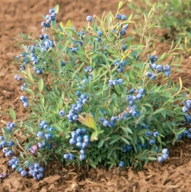 Burgandy planted