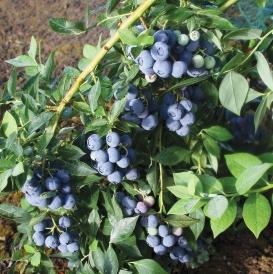 Legacy-berries-july