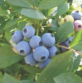 Jewel berries