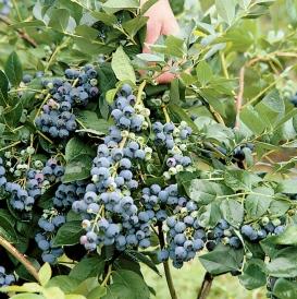 Jersey on bush