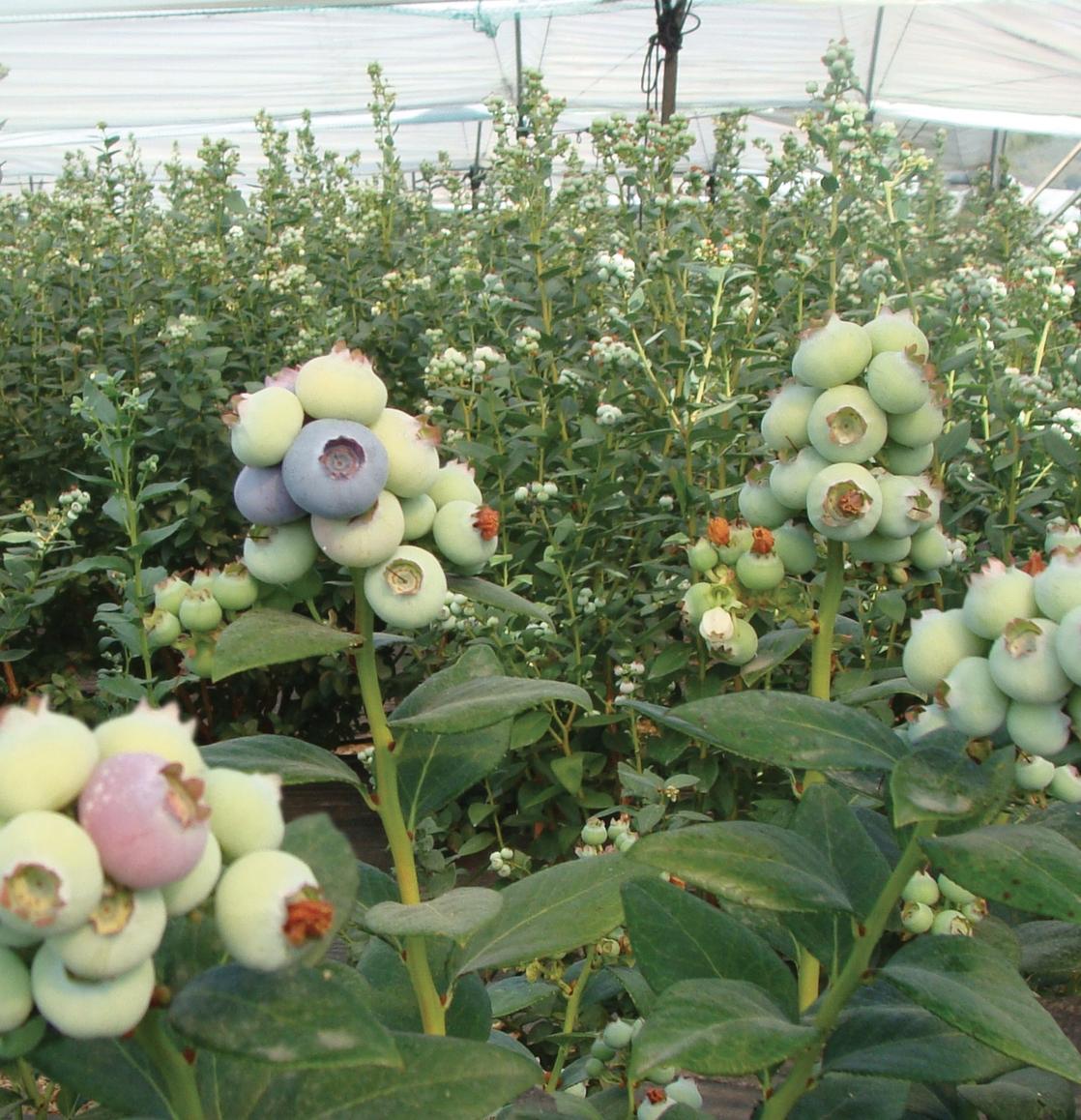 Biloxi in greenhouse