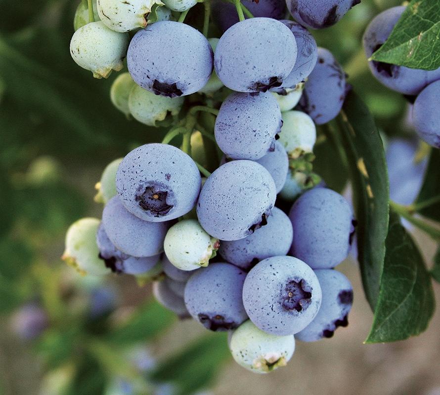 Bluecrop berries 890x800