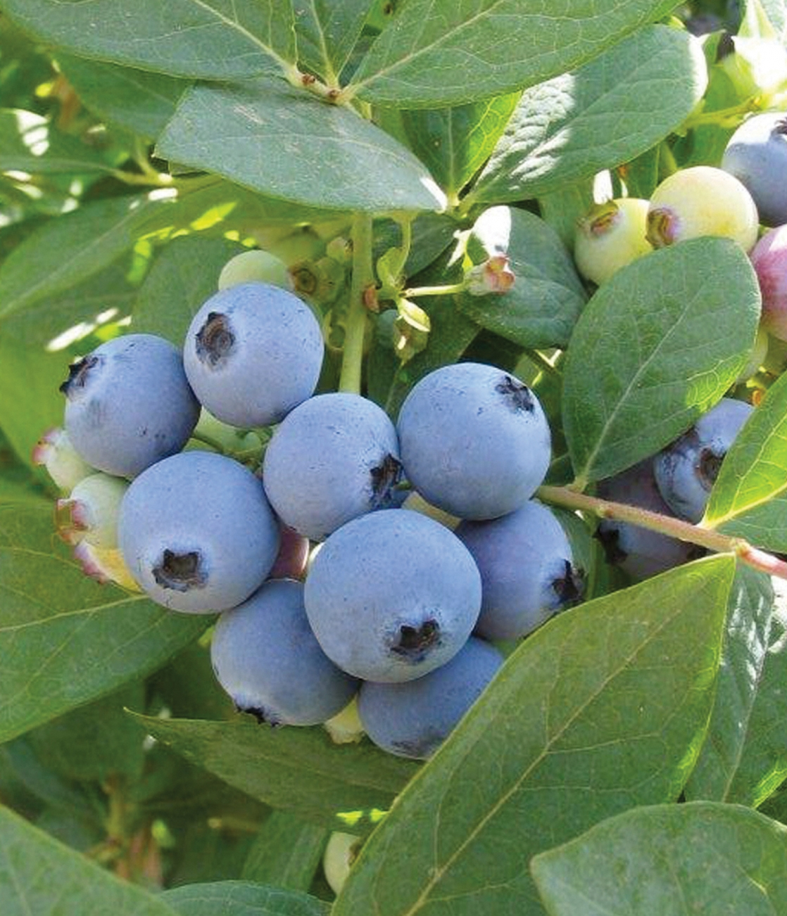 Jewel berries