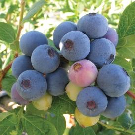 Springhigh berries