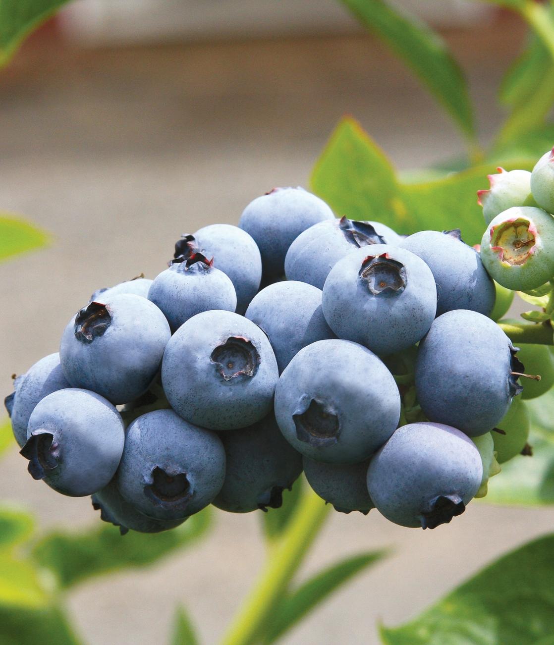 Tor berries july d