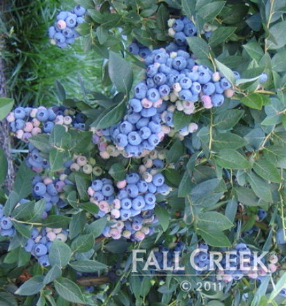 Northern highbush blueberry bushes varieties