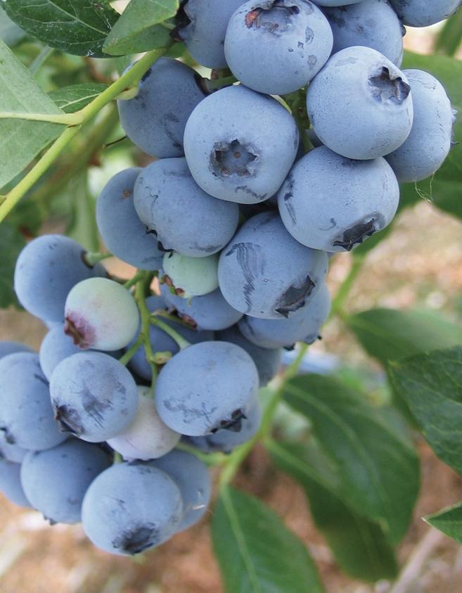 Bluecrop cluster