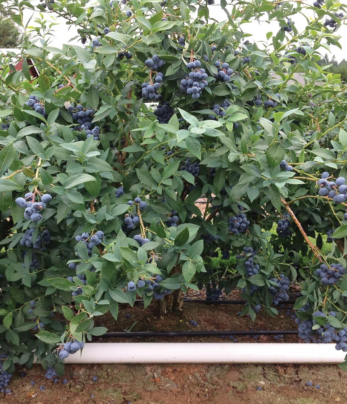 Clockwork bush