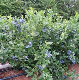 Draper bush