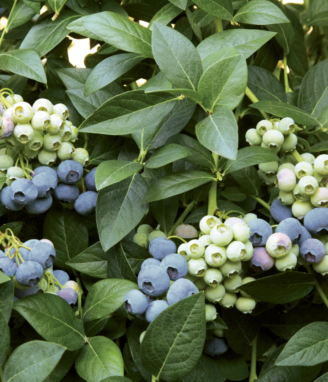 Last call berries on bush