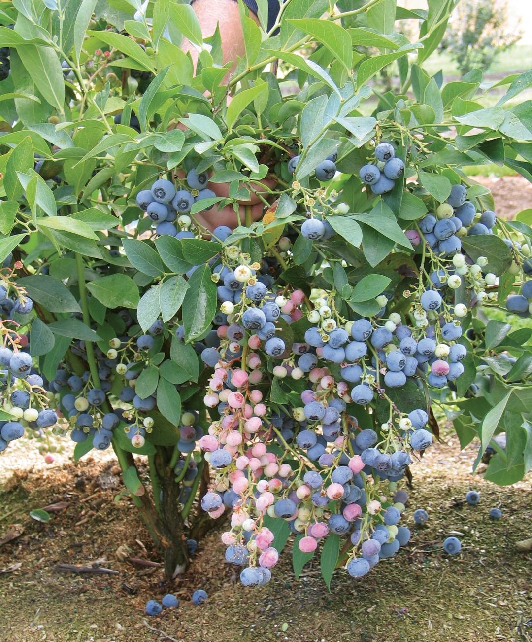 Ochlockonee bush