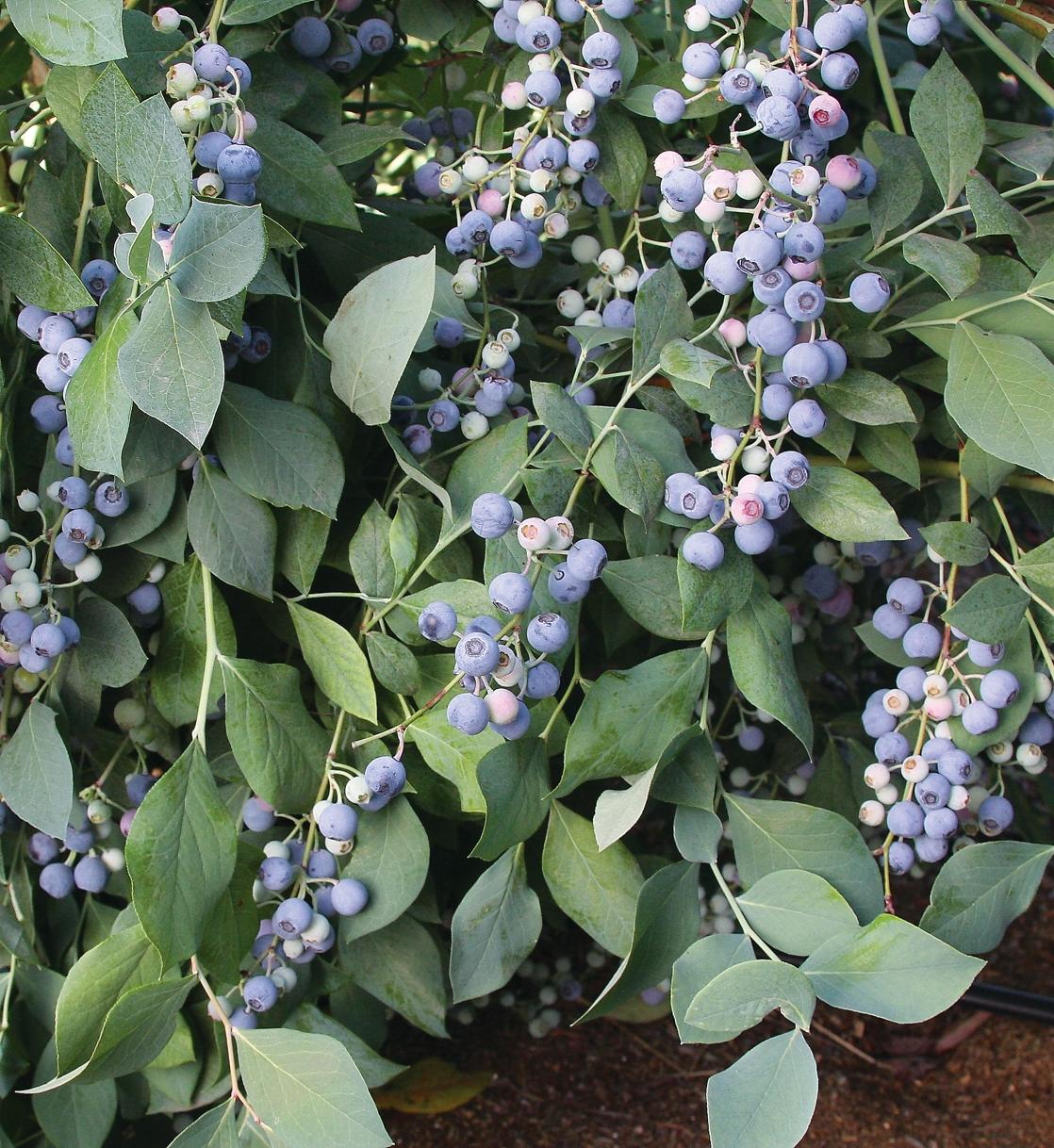 Powderblue bush