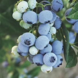 Bluecrop berry july a