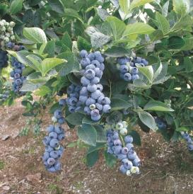 2006 bluegold clus 05