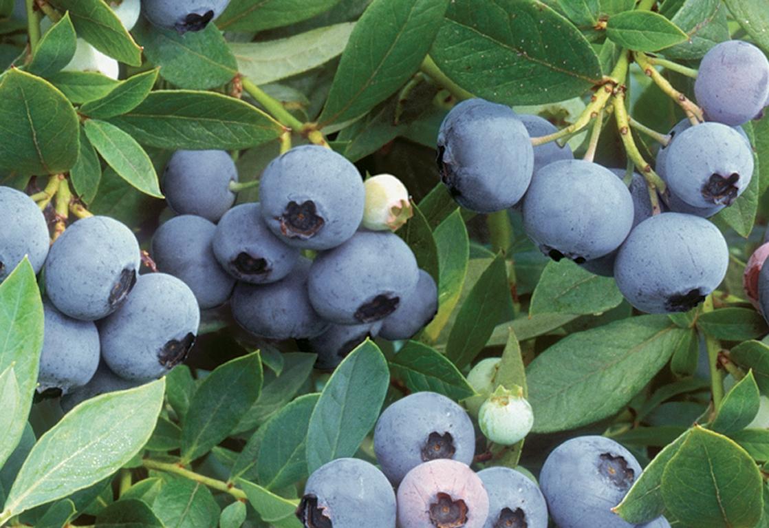 Sunshine blue on bush