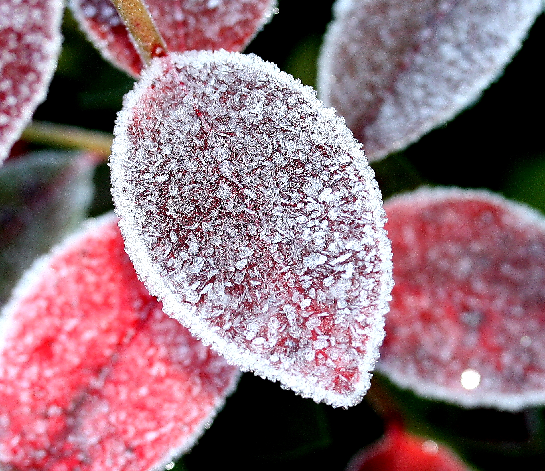 Beautiful red blueberry leaves covered in ice.